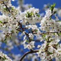 Цветущий сад, деревья в белой дымке... :: Татьянка *