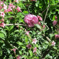 Роза и её розовые фракталы...(фрактальный стиль природы) :: Алекс Аро Аро
