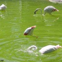 Купающиеся фламинго :: Нина Бутко