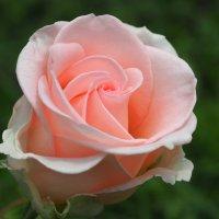 Ведь в розе – мира красота! :: Swetlana V