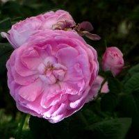 Чайная роза.фото-3. :: Nata