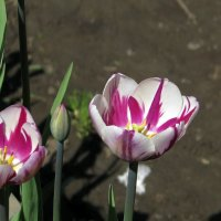 Тюльпаны в Аптекарском огороде :: Grey Bishop