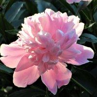 розовый пион :: mAri