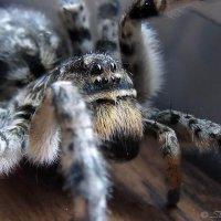 Портрет паука Василия :: Сергей Манекин