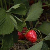 Первая ягода :: Nikolai Martens
