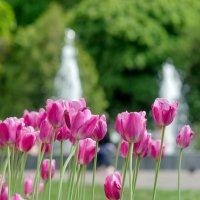 Тюльпаны :: Сергей Тарабара