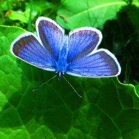 Голубянка Дафнис. :: vodonos241