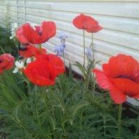 Aguonos / Poppies (For Igor) :: silvestras gaiziunas gaiziunas