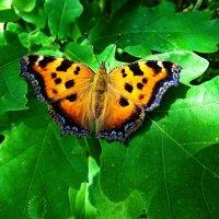 Многоцветница. :: vodonos241