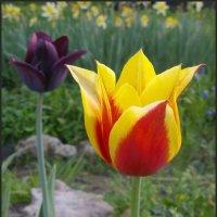 Такие разные тюльпаны :: lady v.ekaterina