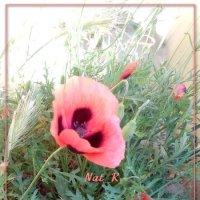 розово-красный красавец... :: maxim