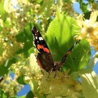 Бабочка репейница на липовых цветках! :: Наталья