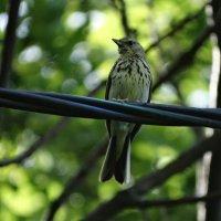 Лесной конек :: vodonos241