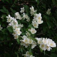 яблони в цвету :: Димончик
