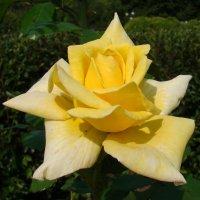 Жёлтая роза :: Татьяна Георгиевна