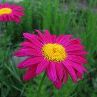 Пиретрум цветёт :: sm-lydmila Смородинская