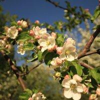 Цвет яблони :: ninell nikitina