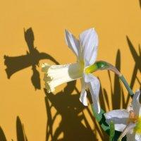 Нарцисс и тень :: Владимир Перваков