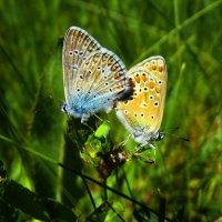 Голубянки Икар :: vodonos241