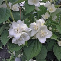 Так цветет жасмин. :: венера чуйкова