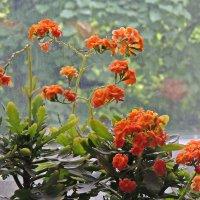 Оранжевый каланхоэ :: Ирина Козлова