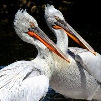 Кудрявые пеликаны. :: Вадим Синюхин
