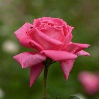 Розы :: Игорь Сикорский