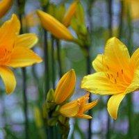 Желтые лилии :: Ольга (crim41evp)