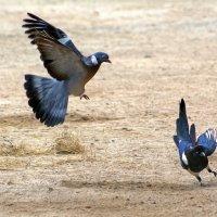 Как голубь сороку изганял :: Alexander Andronik
