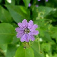 Лесной цветочек :: Татьяна Лобанова