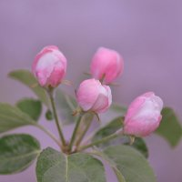 Розовый туман весны :: Алексей (GraAl)