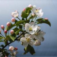 Яблони в цвету :: Анатолий Соляненко