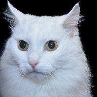 Жил да был белый кот... :: Наталия П