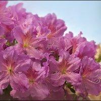Цветение азалии :: Василиса Никитина