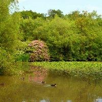 Лесное озеро с цветущими рододендронами :: Тамара Бедай