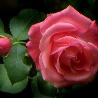 Просто роза. :: Nata