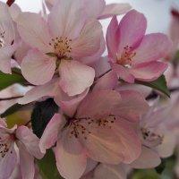 Цветут яблони на острове... :: Екатерина Торганская