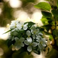 Яблоня в цвету :: Елена Баландина