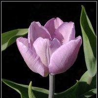 Сиреневый тюльпан :: lady v.ekaterina