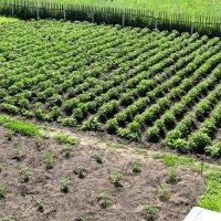 Картофельное поле :: Надежда