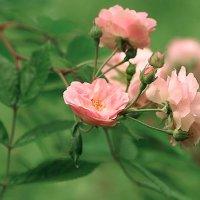 Розы :: Lusi Almaz