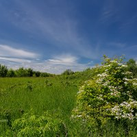 Летний пейзаж с цветущим кустом :: Александр Синдерёв