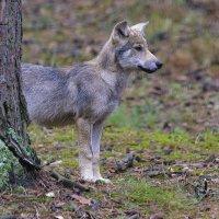 Волк :: Владимир Кириченко  wlad113