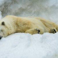 Белый медведь :: Илья Шипилов