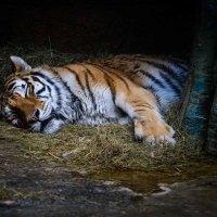 Амурский тигр :: Илья Шипилов