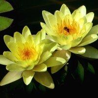 Водяные лилии. :: Nata