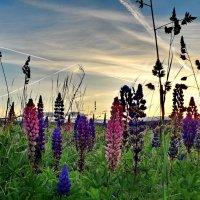 Закат над люпиновым полем :: Лара Симонова