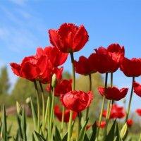 Красные тюльпаны - шёлковые чаши.. :: Татьянка *