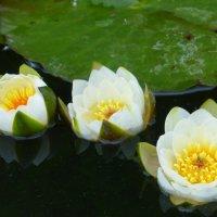 И на пруду цветут цветы :: Татьяна Лобанова