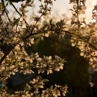 Цветущая ветка вишни :: Александр Синдерёв